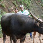 le-buffle-au-nord-vietnam
